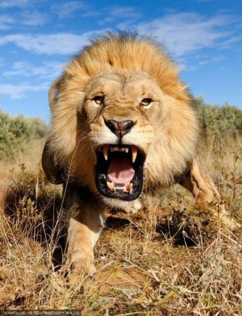 Charging-Lion-800x1043 (Копировать)