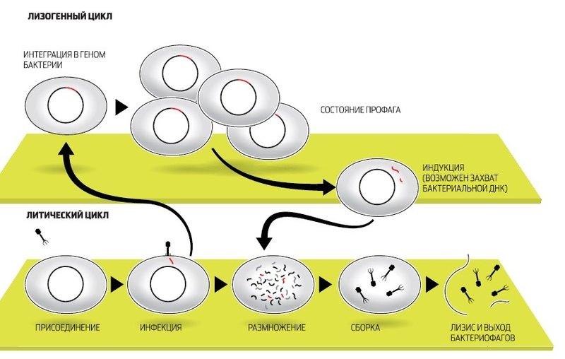 Пожиратели бактерий Наука
