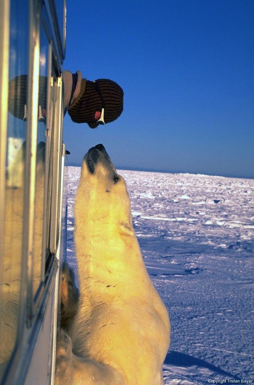 Do polar bears hibernate?