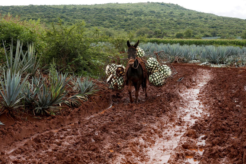Как выращивают текилу