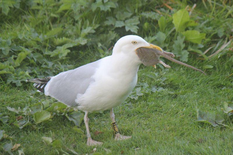 Что может съесть чайка