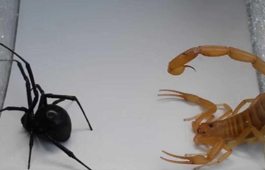 Скорпион против черной вдовы. Кто победит?