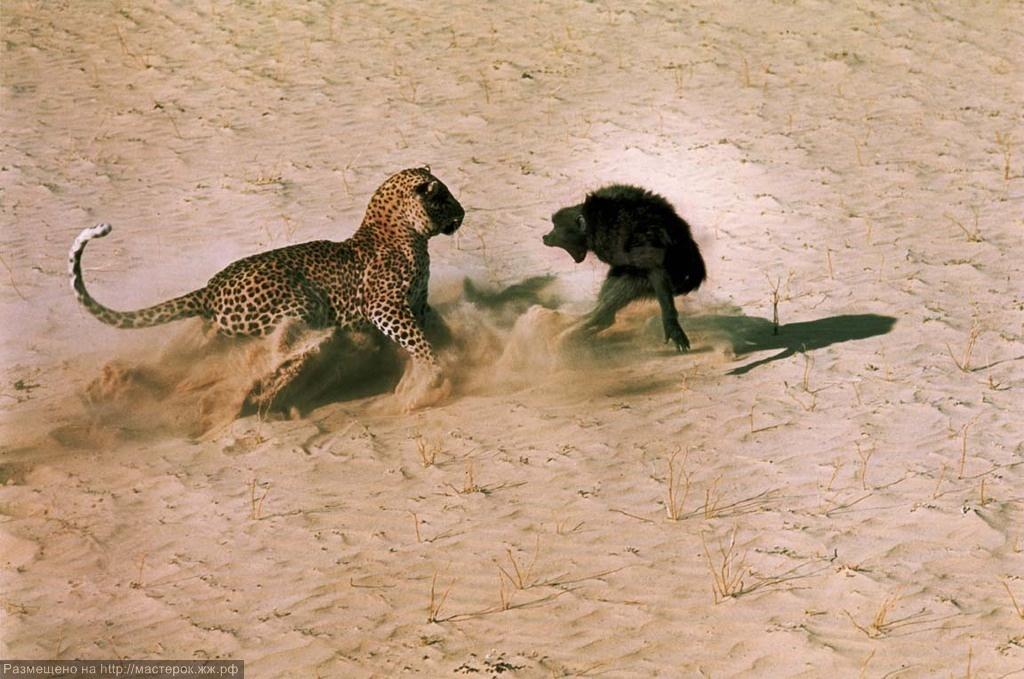 med_13-dominis-leopard-picture-jpg (Копировать)