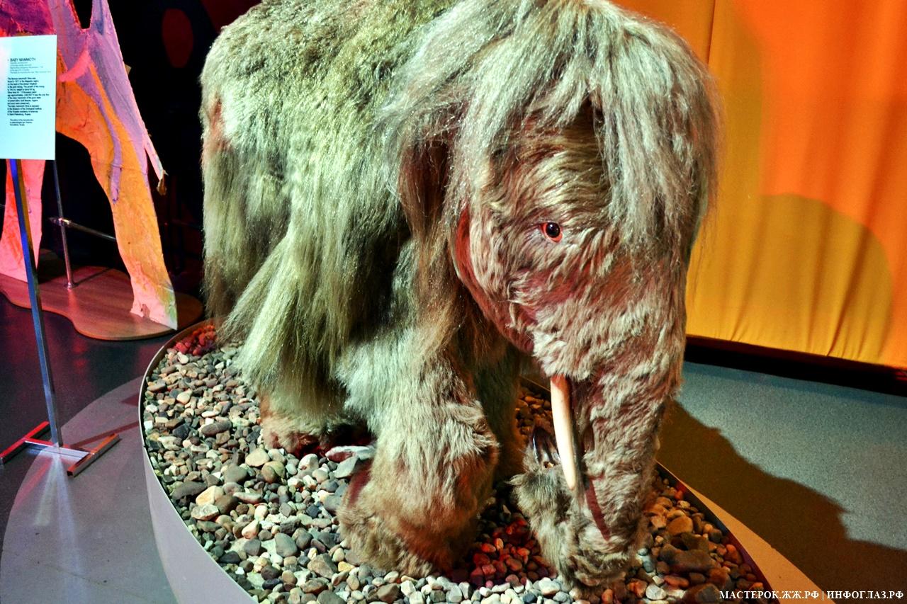 Почему у нас в музеях нет настоящих мамонтов? традиции