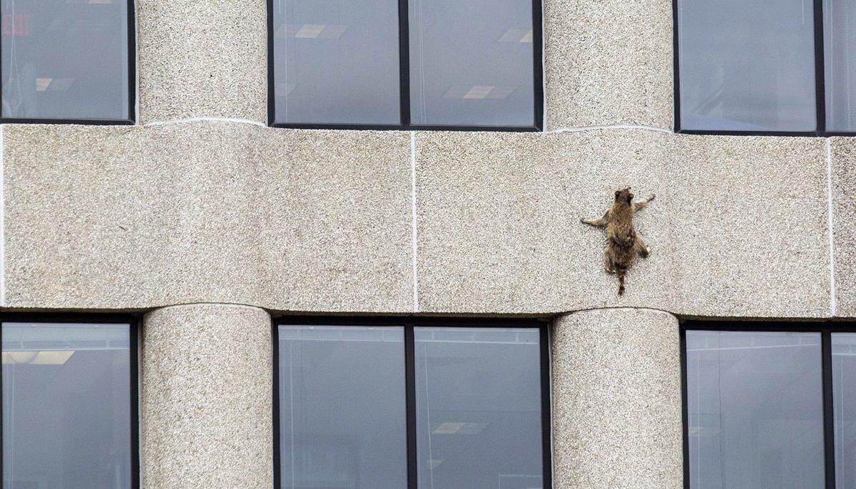 Зачем еноты ползают по стенам?