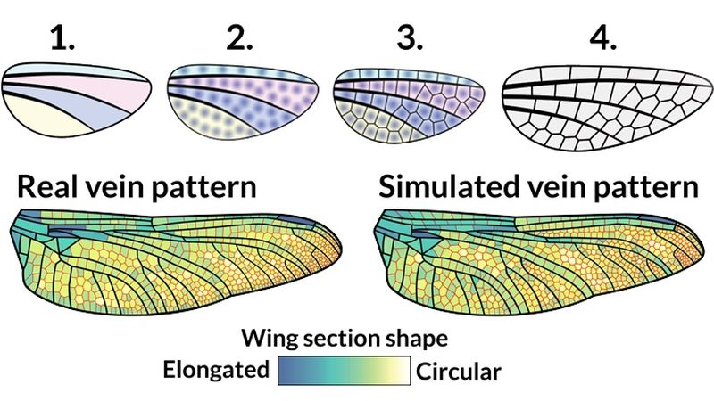 """Diagram of the formation of the complex structure of dragonfly wings of dragonflies, veins, small, wings, large, cell, substance, mosaic, process, scientists, vessels, germinate, veins, wing, nature, """"tile"""", any, point, each, plane"""