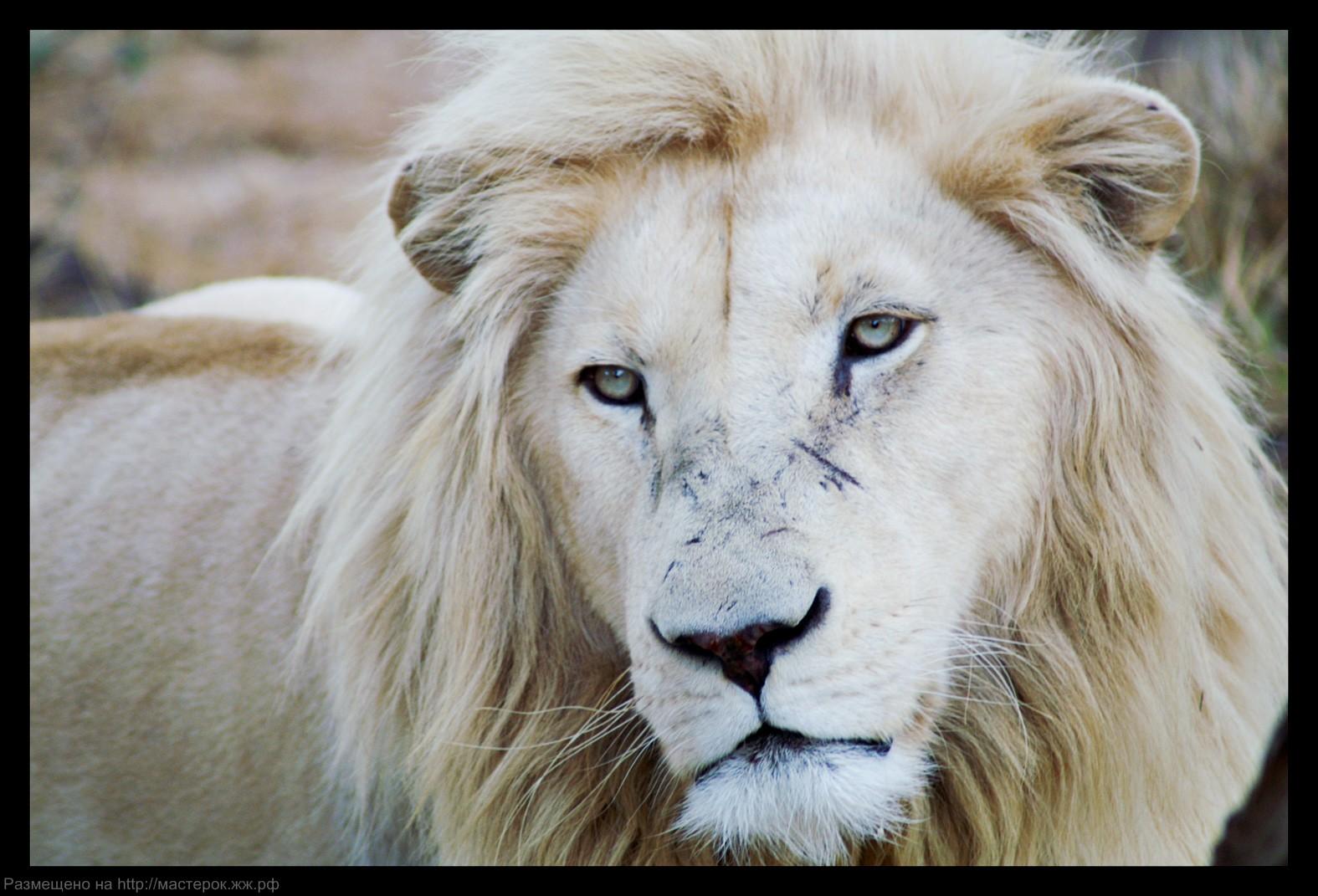 1243713000_white_lion_by_c_puff (Копировать)