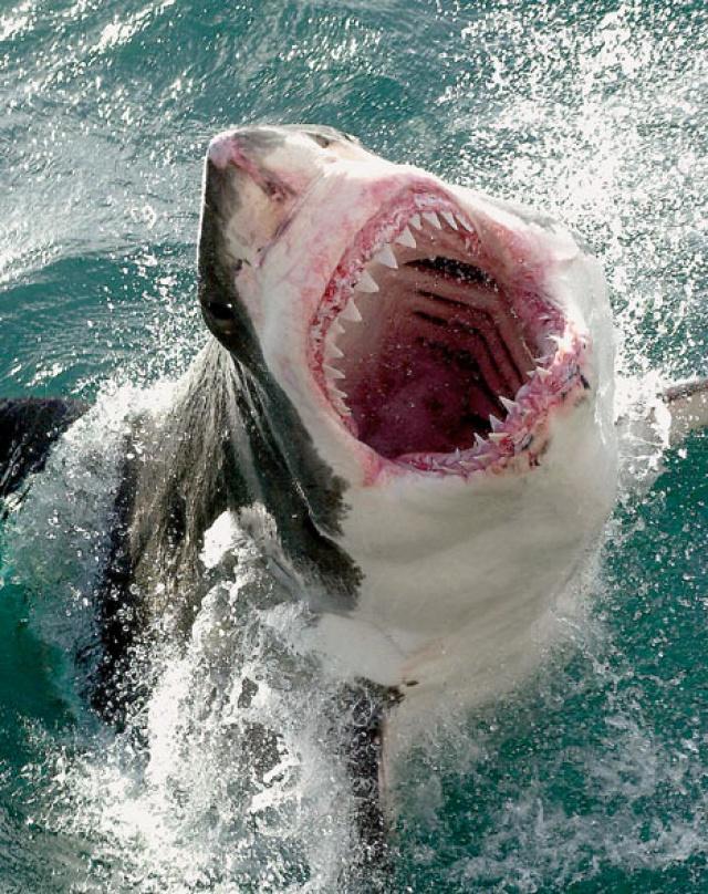 Как спит белая акула?