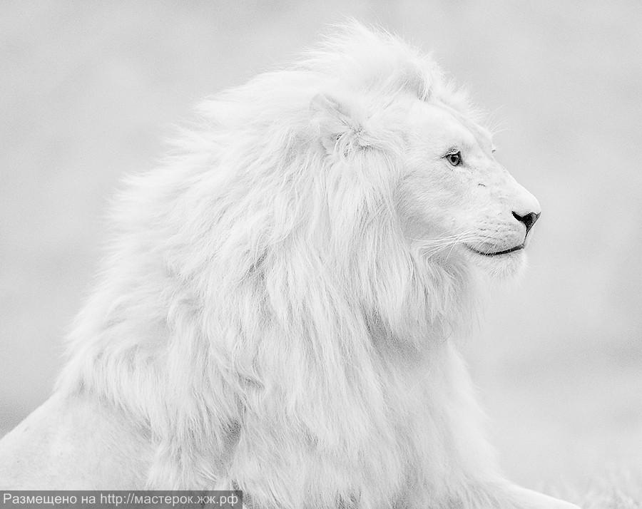white-lion-1 (Копировать)