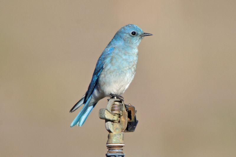 Почему в голливудских фильмах нет американских птиц? птицы