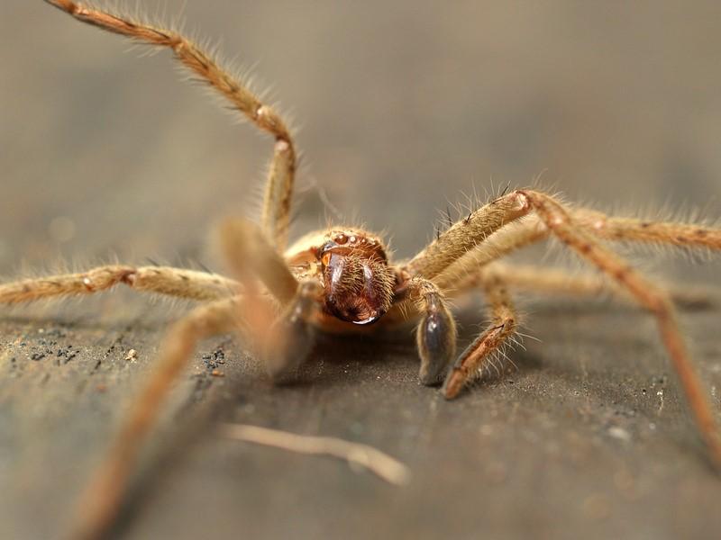 Гигантский паук - охотник