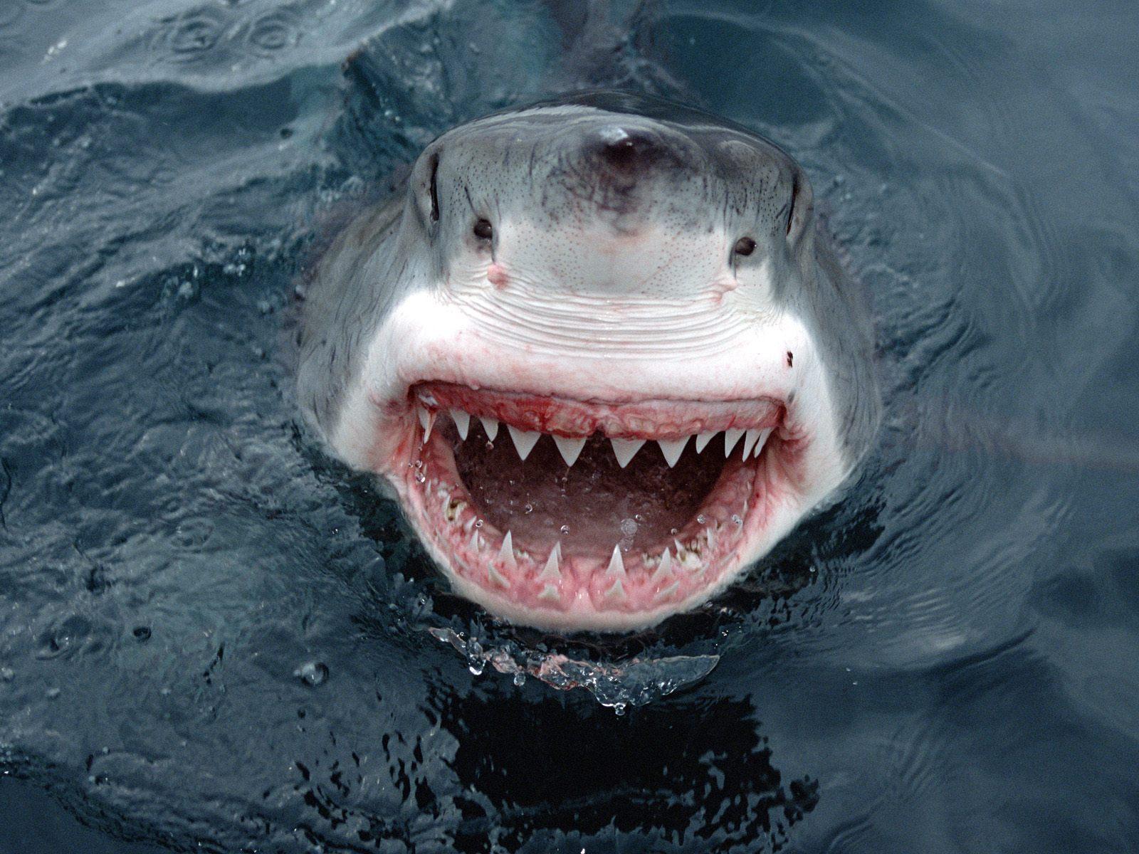Акулы не чувствуют боли