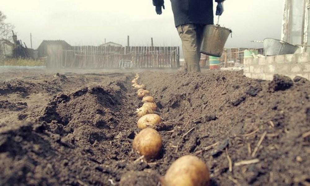 Кто сколько картошки посадил?