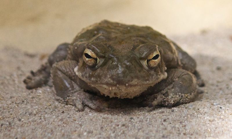 Нашествие ядовитых жаб во Флориде