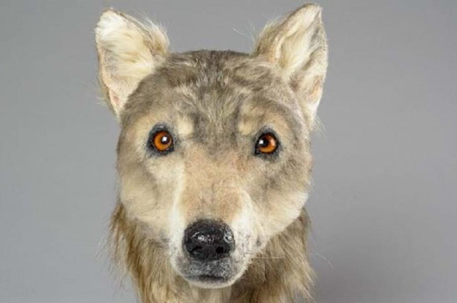 Как выглядел пес 4500 лет назад