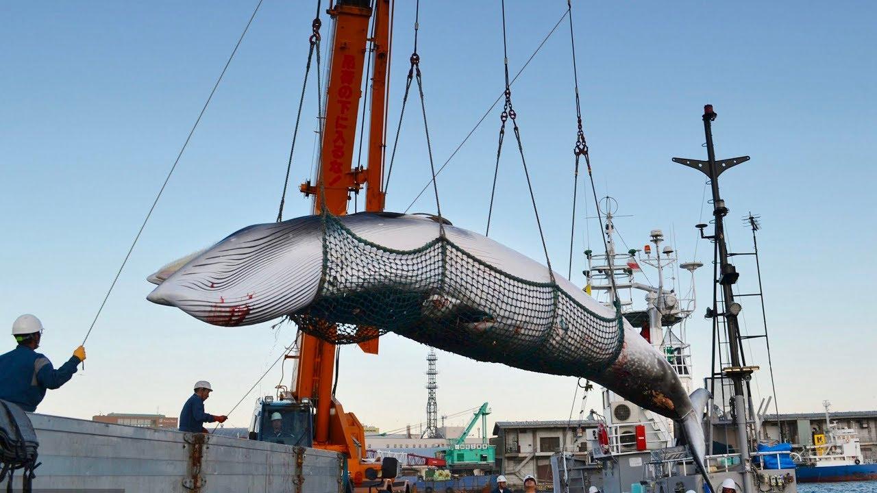 Япония начинает коммерческий лов китов
