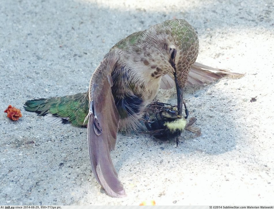 pics-this-hummingbird-collided-with-a-bee-and-ended-up-with-it-impaled-on-its-beak