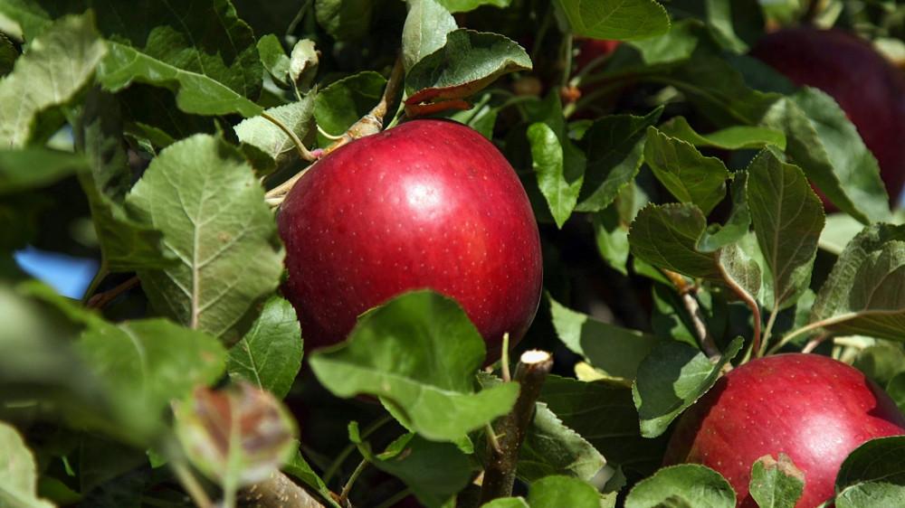 В США начали продавать яблоки, которые могут пролежать год и не испортиться