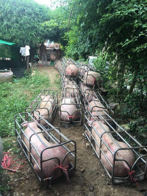 Камбоджийские мускулистые свиньи Живая природа