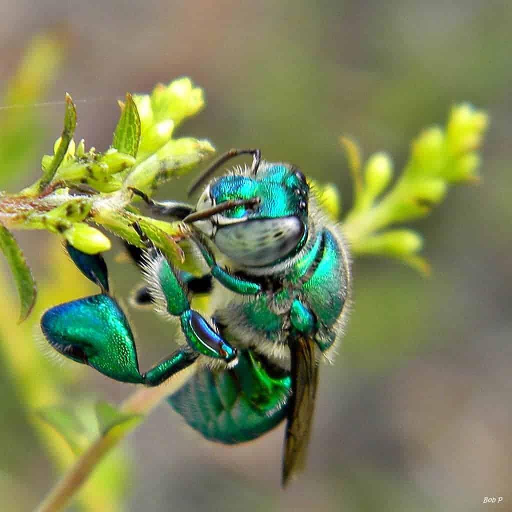 Орхидные пчёлы Насекомые