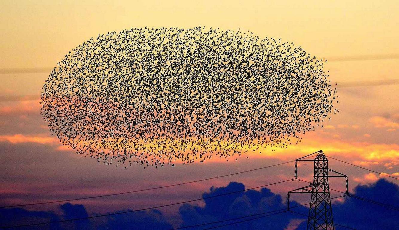 Как управляется стая скворцов? Птицы