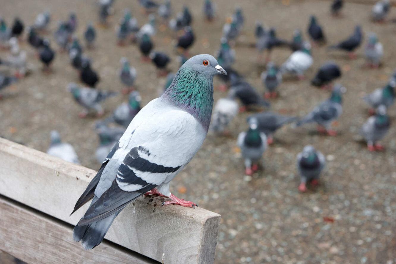 Что вы могли не знать о голубях Птицы