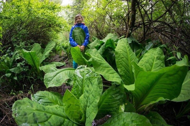 Почему на Сахалине обычные растения достигают гигантских размеров? Растения,Загадка