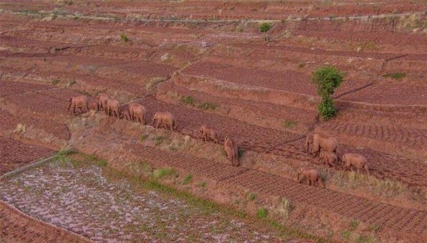Слоны идут на север Слоны