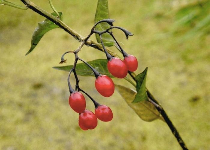 Лесные ягоды, к которым лучше не прикасаться