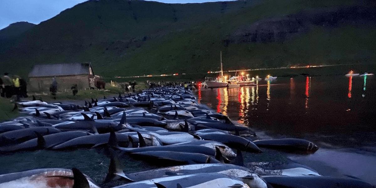 За несколько часов убили 1428 дельфинов