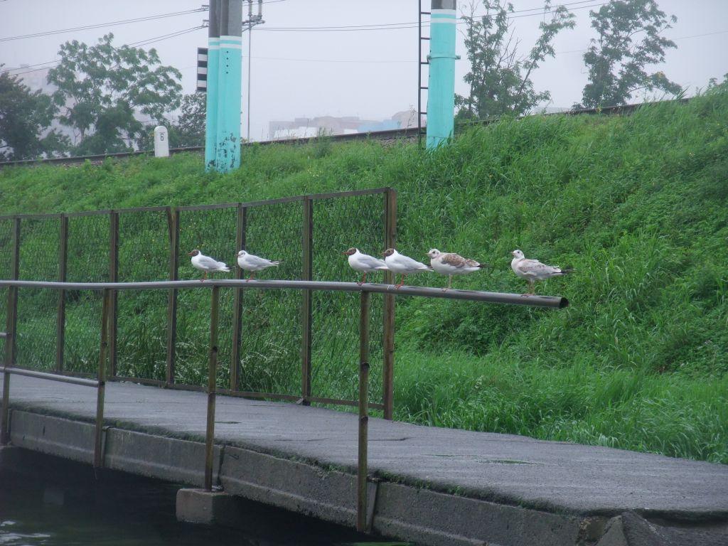 чайки