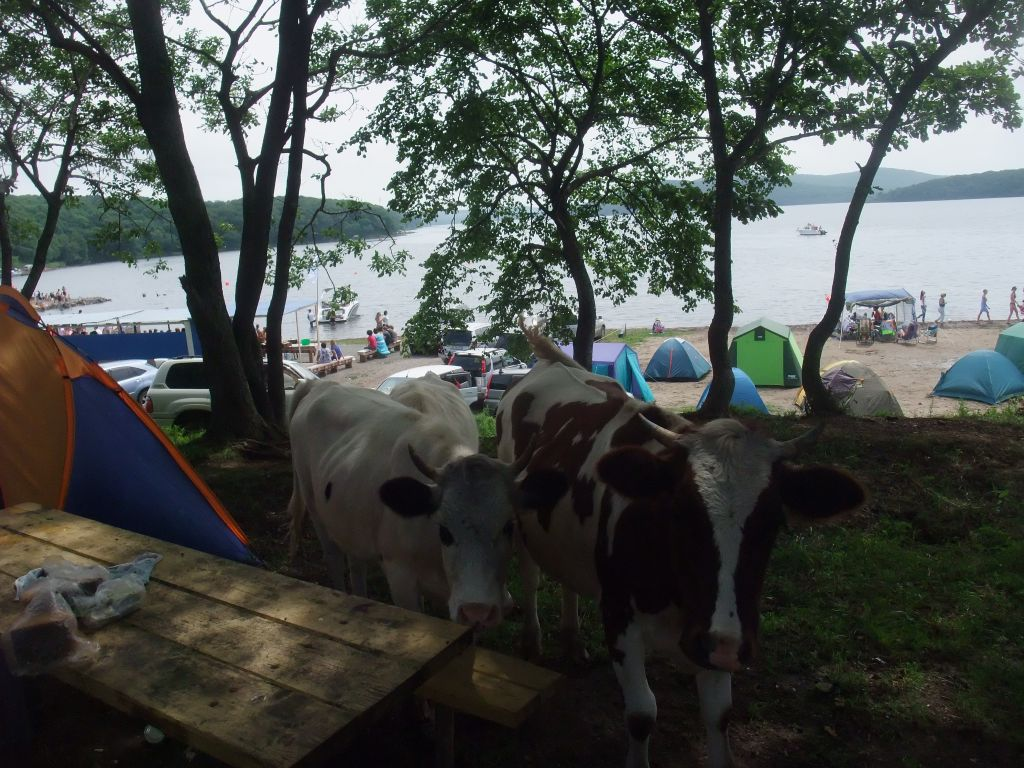 Коровы тоже так думают