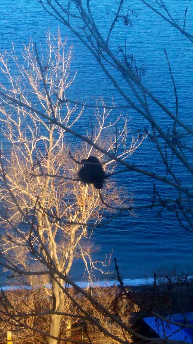 Ворона в холодную погоду