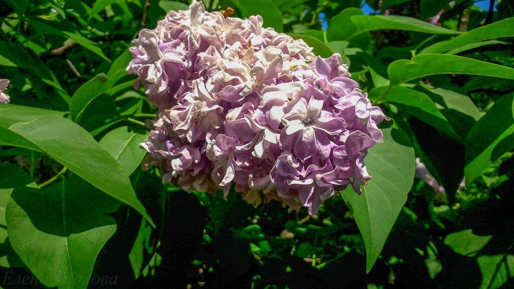 Сиреневый сад-9.jpg