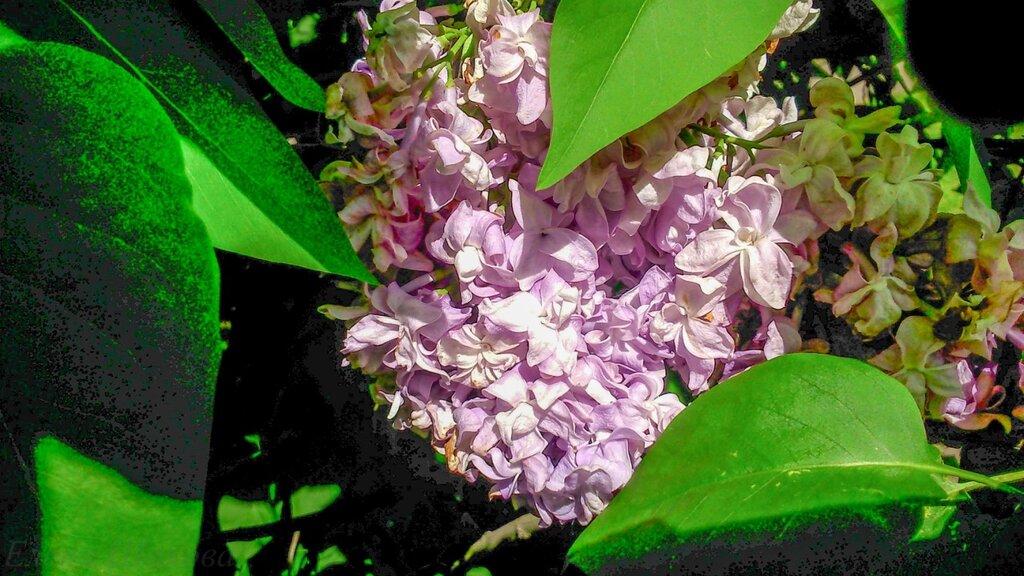 Сиреневый сад-8.jpg