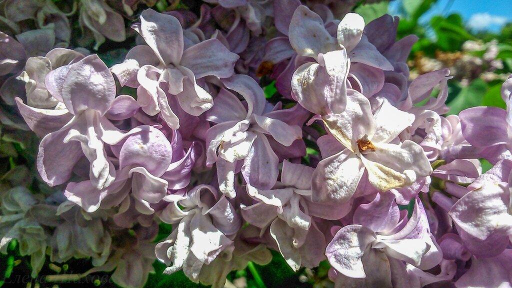 Сиреневый сад-7.jpg