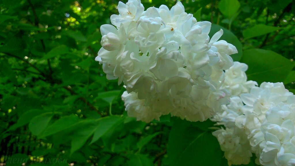 Сиреневый сад-20.jpg