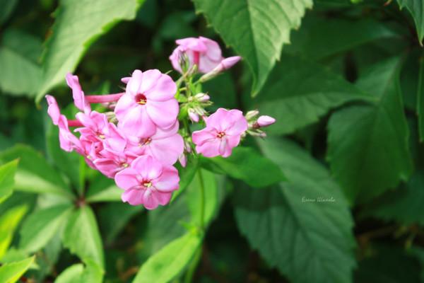шаранга цв