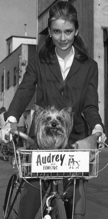 audrey hepburn yorkie photo dog lover