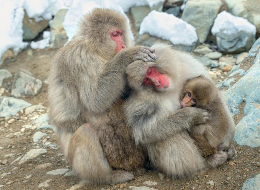 В Китае внедрили ген человеческого мозга в эмбрион обезьяны