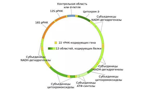 Сюрпризы митохондриального генома презентация, доклад