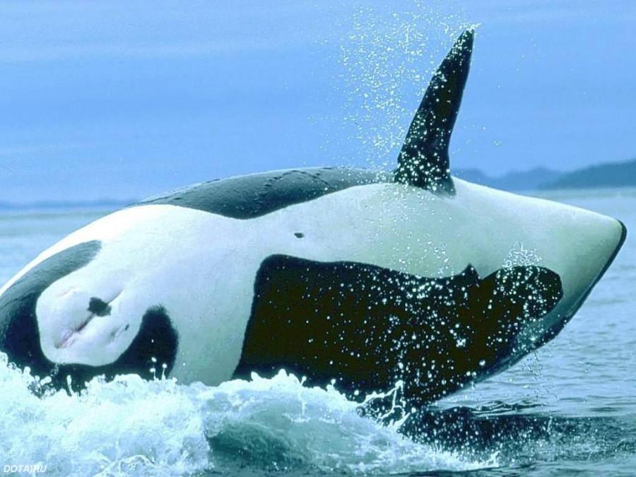 Касатки и киты  (3)