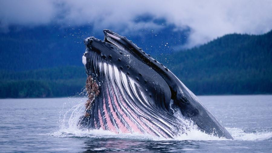 Касатки и киты  (64)