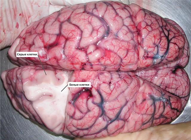 brain_creu-ru-02-640x468 (1)