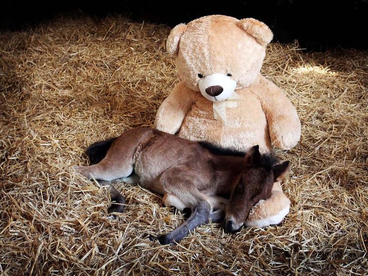 Плюшевый медведь заменил жеребенку мать (видео)