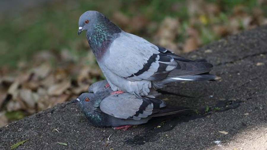секс голубей фото