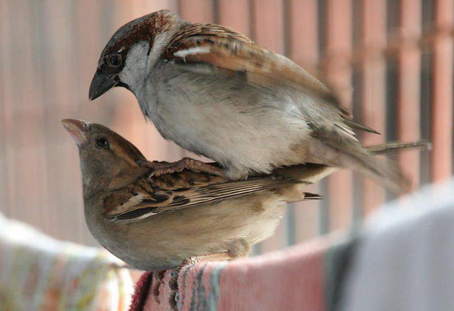Как делают секс птицы
