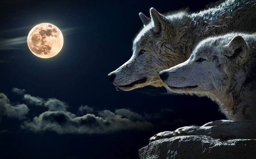 Фото волка воющего на луну на рабочий стол