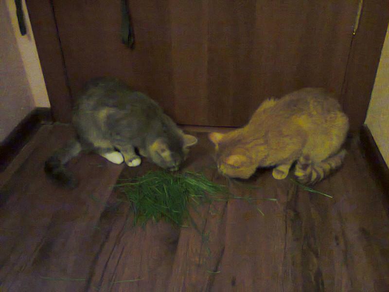 коты-трава