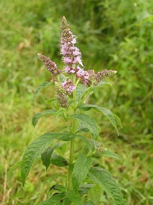 413px-Mentha_longifolia_2005.08.02_09.53.56